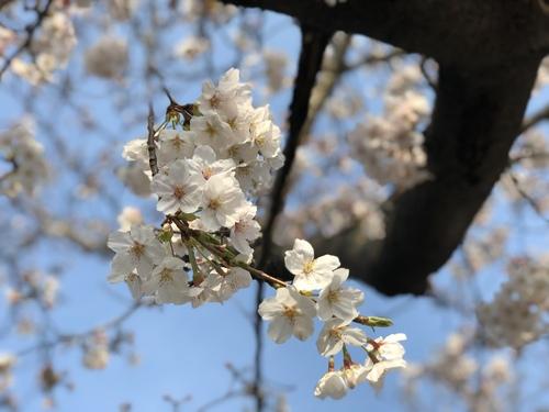 3月27日はさくらの日だそう。3×9=27で。おもしろいですね。境内の桜もきれいに咲いています。
