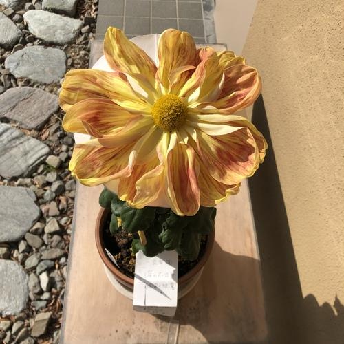 国家の紋章の菊の花です。