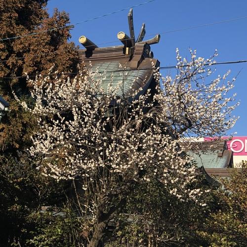 2月1日(月) 社殿裏の白梅が綺麗に咲いています。