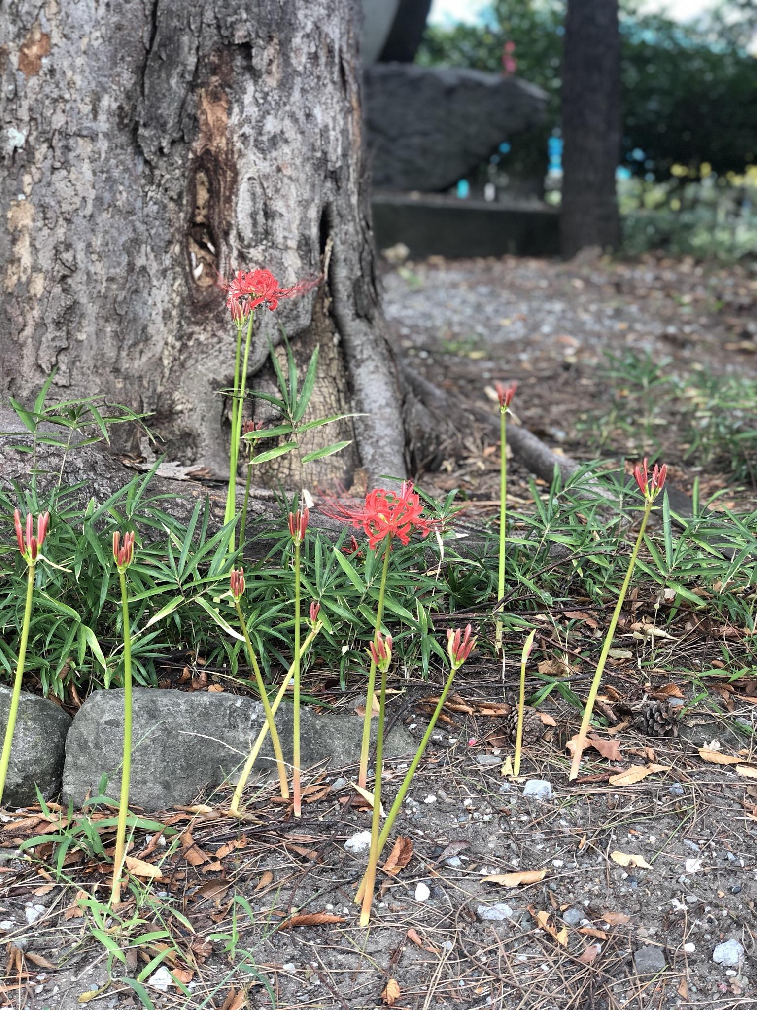 彼岸花。ちょっと遅めの開花です。